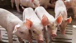 Lợn hơi ế ẩm, các ông lớn Masan, Hòa Phát, Dabaco lợi nhuận ra sao?