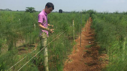 Cầm chắc 200 triệu đồng/năm từ 5 sào măng tây xanh
