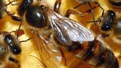Bắt ong chúa, dẫn cả nghìn ong con về nuôi lấy mật