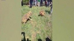 Chó sói khổ sở chống đỡ chó nhà trong trận chiến sinh tử