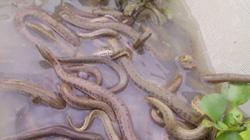 Lạ: Quách Tĩnh đi nuôi rắn, quăng một mẻ lưới bắt được cả nghìn con