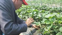 Chùm ảnh: Nông dân VN xuất sắc ăn dâu tây ngay tại vườn ở xứ Hàn
