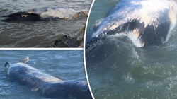 """Xác cá voi khổng lồ liên tiếp """"cập bờ"""" biển Anh"""