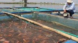 Vì sao nuôi cá lồng lãi cao, nhưng nông dân Đà Nẵng vẫn phập phồng lo lắng?