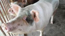 Trung Quốc sẽ nhập 1 triệu tấn lợn Việt Nam theo đường chính ngạch