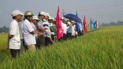 Lúa Kim Cương 111 được nông dân săn đón