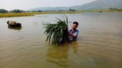 Hàng chục ha lúa chìm trong biển nước vì... 1 trận mưa