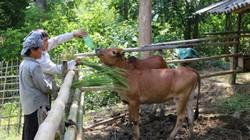 Ở nơi thâm sơn cùng cốc, chăn nuôi mà khấm khá với đàn bò 20 con