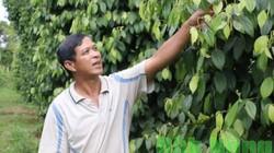 Đắk Nông: Làm hạt tiêu 5 màu, nhanh giàu bền vững