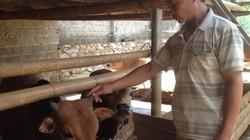 Trồng cỏ nuôi bò không lo nghèo mãi