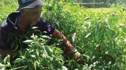 Nhà nông trồng quả cay phấn khởi vì có Hợp tác xã...nước ớt