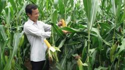 Trồng ngô, bông biến đổi gen, nông dân bỏ túi hơn 167 tỷ USD
