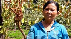 Tán tận lương tâm: Lừa nông dân trồng chanh dây dỏm, rồi biến mất