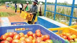 Trồng hiệu quả: Mỗi tuần lắc giàn cà chua, cuối mùa thu gần 1 tỷ