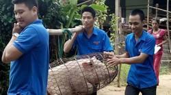 Quảng Trị: Thanh niên áo xanh đồng loạt xuống chuồng giải cứu lợn