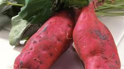 Dỡ 4ha khoai lang quý hiếm, lãi ròng hơn 300 triệu đồng
