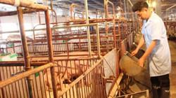 Đừng nên lao vào xuất khẩu lợn thịt sống