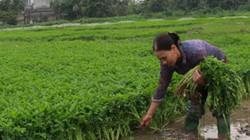 Trồng rau cần sạch Khai Thái, lãi nghìn đô mỗi sào