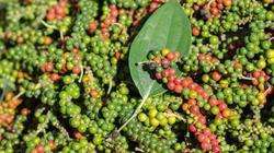Giá nông sản hôm nay 12.6: Dừng trồng mới hồ tiêu, tăng đầu tư chất lượng