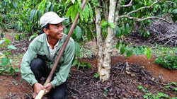 Bón phân đúng cách, cà phê sống khỏe, trĩu quả sau mùa khô