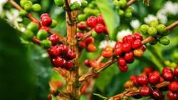 Giá nông sản hôm nay 14.6: Giá cà phê tăng cao khiến dân trồng tiêu phát thèm