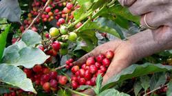 Giá nông sản hôm nay 16.6: Giá cà phê, hồ tiêu cùng tăng vọt