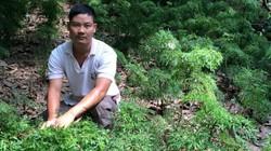 """Chỉ trồng 2 loài cây thuốc bổ, """"soái ca"""" miệt vườn thu ngót 1 tỷ/năm"""