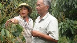 Nhãn Ido đặc biệt cỡ nào mà nông dân này thu về 2 tỷ/năm?
