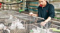 Triệu phú nuôi hàng ngàn con thỏ ở vùng gió  Lào, cát trắng