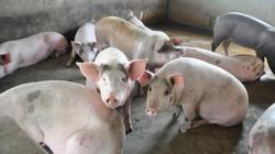 """Cập nhật giá lợn: Lợn hơi """"siêu"""" đẹp giá chỉ 22.000 đồng/kg"""