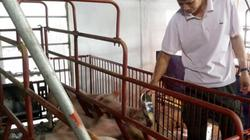 Sốc: Lợn giống giảm còn 100.000 đ/con, dân giết thịt nuôi chó, mèo