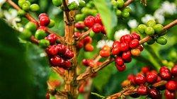 """Giá nông sản hôm nay 20.6: Giá cà phê cực kỳ """"nhạy cảm"""", tiêu ít người mua"""