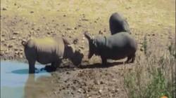 Video: Hà mã nổi giận cắn chết tê giác bằng đòn chí mạng