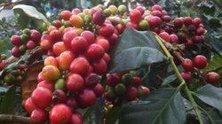 """Giá nông sản hôm nay 24.6: Cà phê gặp """"bão"""", giá tiêu ổn định"""