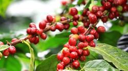 """Giá nông sản hôm nay 25.6: Giá cà phê """"dậy sóng"""" ngày cuối tuần, tiêu đứng im"""