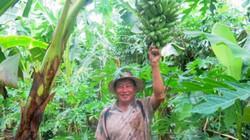 """Trồng 1.800 cây chuối cau mà chẳng """"đau"""" như giống chuối khác"""