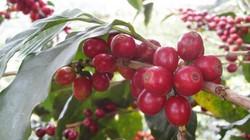 Giá nông sản hôm nay 26.6: Tiêu chưa thể bứt phá, cà phê khó giữ đà tăng
