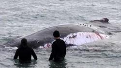 Úc: Cá voi khổng lồ chảy máu, cá mập bao vây rỉa thịt