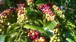 Giá nông sản hôm nay 28.6: Cà phê sẽ vượt 45.000 đ/kg, tiêu nhiều bất ổn