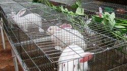 Rủ nhau nuôi thỏ, dân Yên Bái gặp khó vì bị nhà máy chê