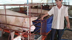 Đồng Nai: Phá sản chương trình giải cứu heo, nông dân phải tự bơi