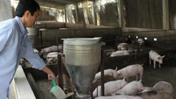"""Cấm chăn nuôi kháng sinh: Nông dân thay đổi ra sao khỏi """"việt vị""""?"""