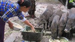 Sau sự cố môi trường biển, dân khấm khá nhờ thả lợn rừng trên cát