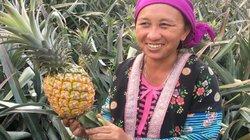 Lãi 200 triệu/ năm nhờ trồng 2ha trái thơm trăm mắt trên đất dốc