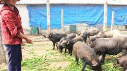 Nuôi lợn thương phẩm thất bại, dốc sức nuôi lợn rừng, thu nhập khủng