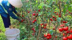 Cà chua Nghệ An tăng giá, tư thương mua tận ruộng khiến ND Đà Lạt phát thèm