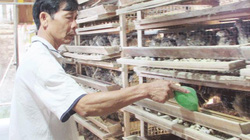 Bỏ hơn 2 tiếng mỗi ngày nuôi chim cút, kiếm 18 triệu đồng/tháng