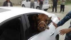 Tin thế giới: Bó tay lái xế sang đi... trộm bò