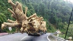 """Vụ xe chở cây """"quái thú"""": Thẩm quyền xử phạt thuộc tỉnh nào?"""
