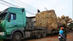 Truy nguồn gốc cây khủng vận chuyển xuyên Việt: Rối như tơ vò
